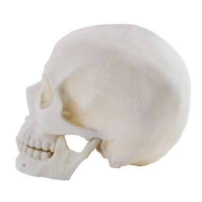 Life Size 1:1 Replica Realistic Human Skull Head Bone Model Made with Resin