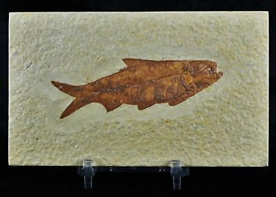 Knightia Eocaena Fossil Fish Green River Formation Eocene Age 3.3 In Free Stand