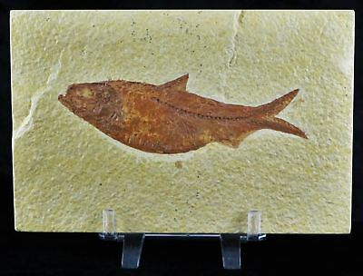Knightia Eocaena Fossil Fish Green River Formation Eocene Age 4.3 In Free Stand
