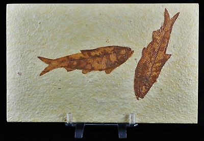 2 Two Knightia Eocaena Fossil Fish Green River Formation Eocene Age Free Stand