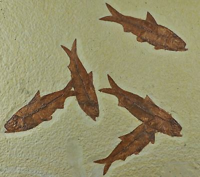 5 Five Knightia Eocaena Fossil Fish Green River Formation Eocene Age 3.7 Inches