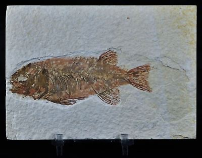 Rare Phareodus Encaustus Fossil Fish Green River Formation Wy 3.7 In Free Stand