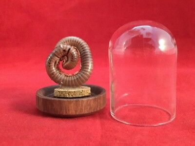 Taxidermy Preserved Millipede in Glass Dome Dsply entomology insect animal bug