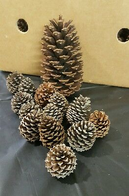 6 Small, 4 medium,  3 large Natural Pinecones, Christmas