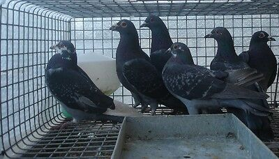 Voted best value Pigeon trap by users
