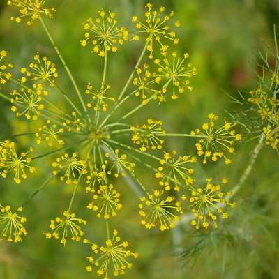 Dill seeds - Anethum graveolens - Ideal to grow at allotment - Herb seeds