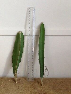 Dragon Fruit Cuttings Red Flesh Cactus Rare Fruit Collector Plant