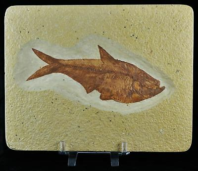 Xl 5.6 In Diplomystus Dentatus Fossil Fish Green River Wy Eocene Age Free Stand