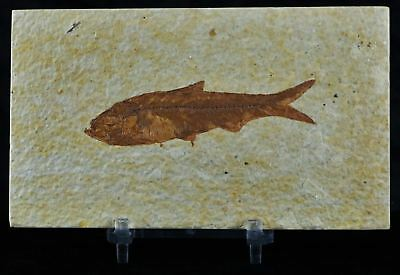 Knightia Eocaena Fossil Fish Green River Wy Eocene Age 3 Inches Long Free Stand
