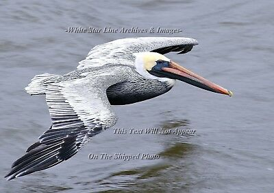 Photo: INCREDIBLE PELICAN SERIES: 'Jet Pelican': Louisiana Bayou, 2009