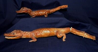 "Taxidermy Real Florida Alligators 1950's Pair Small 13"" & 17"" Wire & Stuffing"