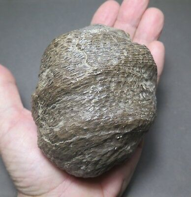 Museum Quality One of a Kind Large Rare Fossil Pine (Gymnosperm) Cone.