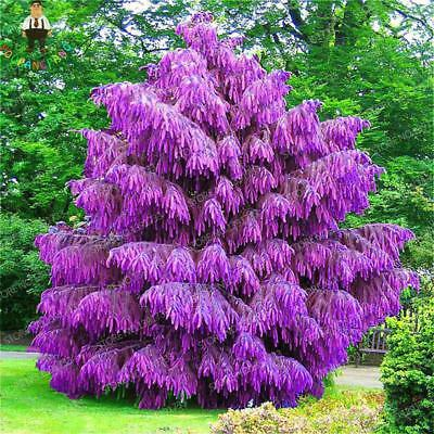 Purple Pinus Seeds Chinese Bonsai Tree Pine Seeds Garden Perennial 100PCS