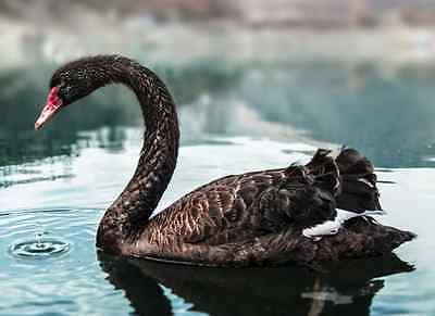 THE BLACK SWAN SYSTEM - Horse Racing Laying - Betfair / Betdaq Betting Systems