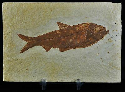 4.4 In Knightia Eocaena Fossil Fish Green River Formation Wy Eocene Free Stand