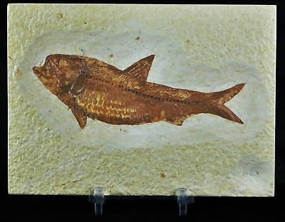 4.3 In Knightia Eocaena Fossil Fish Green River Formation Wy Eocene Free Stand