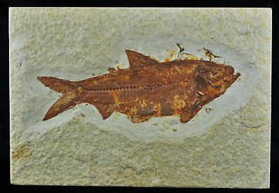 Knightia Eocaena Fossil Fish Green River Formation Wy Eocene Age 3.9 Inches Long