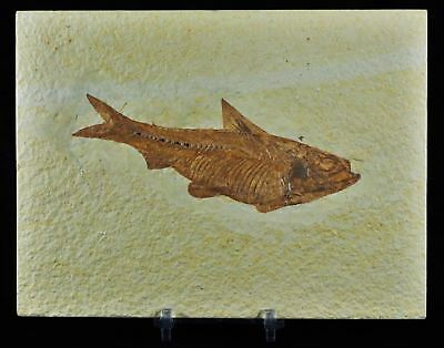Xl 4.5In Knightia Eocaena Fossil Fish Green River Formation Wy Eocene Free Stand