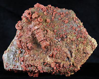 Xl New Find Quality Red Crinoid Stem Echinoderm Fossil On Matrix Sea Lilly 5.1In