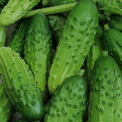 Seeds Cucumber Zubronok F1 Organically Grown Russian Hybrid Vegetable Variety