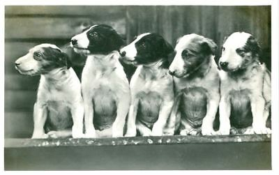 Unusual Dog Vintage Postcard PC 5 Greyhound or Borzoi Puppies 1933 Netherlands