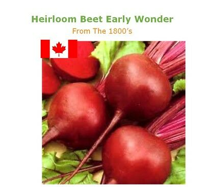 Organic Beet Seed: Globe Heirloom Non GMO NON Hybrid  Smooth GLOBE 150+ Seeds