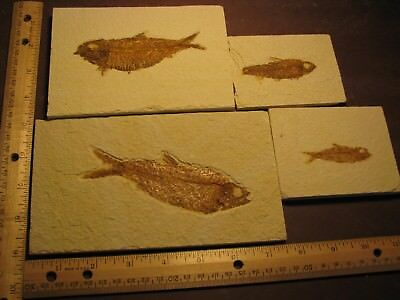 fossil fish Green River formation Wyoming   # 46