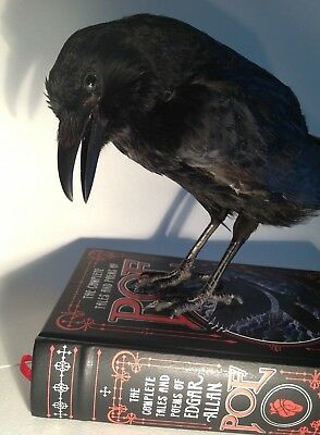 1-of-a-kind! REAL TAXIDERMY RAVEN CROW on EDGAR ALLAN POE Book, Gift Gothic
