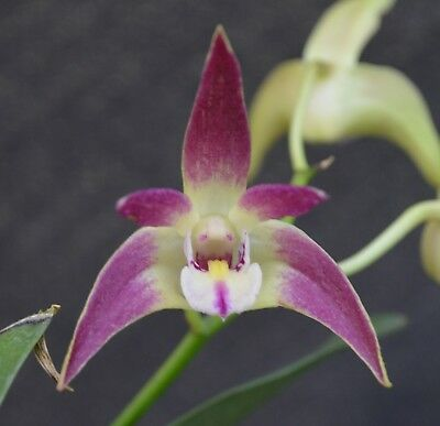 OoN Dendrobium Orchid Lone Pine (WT4213) (Class x Aussie Victory) 125mm pot FS