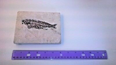 Fossil fish Knightia, (5 inch) from Green River, Wyoming formation, Eocene era