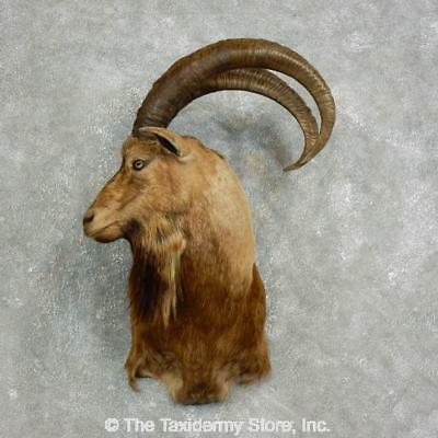 #17634 E   Hybrid Ibex Taxidermy Shoulder Mount For Sale
