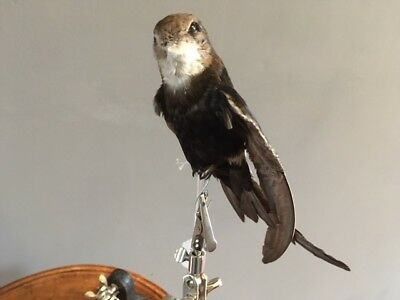 Taxidermy stuffing skull bones tattoo voodoo STUFFED AFRICAN HORUS SWIFT bird