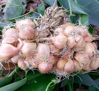 *UNCLE CHAN* 3 oz.Gold ONION BULB Heirloom garden easy plant 2019 harvest