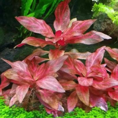 Alternanthera Rosanervig Bunch Tropica Sunset Live Aquarium Plants BUY2GET1FREE*