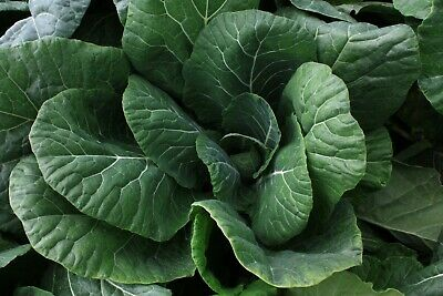 Organic Collard Green Seed :VATES 250+ Seeds Heirloom Non GMO Very High Yielding