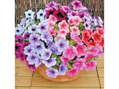 200+PETUNIA VEINED MIX Flower Seeds Hanging Baskets Beds Window Box Containers