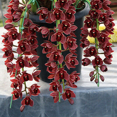 100 X New Chinese Cymbidium Orchid Indoor Potted Flowers Cicada Orchid Seeds^