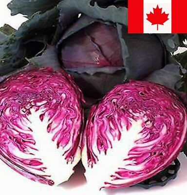 Cabbage Seed 250+ RED ACRE Seed Heirloom Non GMO Excellent Choice For STORAGE