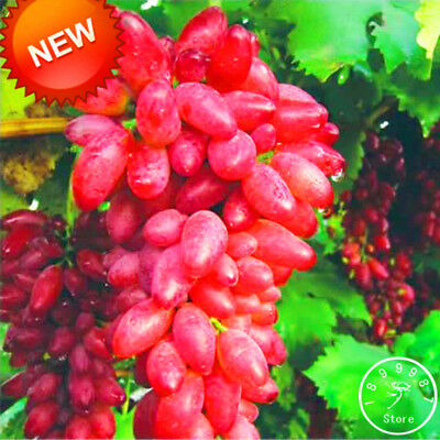 100 PCS/Lot Rare Red Finger Grape Seeds Advanced Fruit Seed Natural Growth Grape