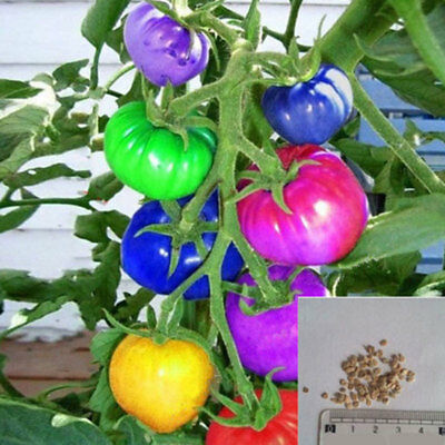 100Pcs Rainbow Tomato Seeds Colorful Bonsai Organic Vegetables Seed Home