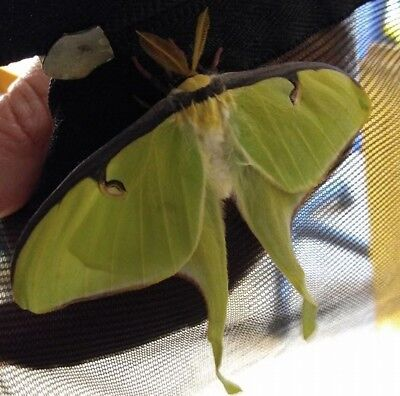 1 REAL live Luna Moth Cocoon -- ready for hatching Spring 2018