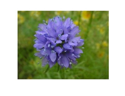 GLOBE GILIA, Annual Wildflower  Seeds - Fresh and Hand Packaged