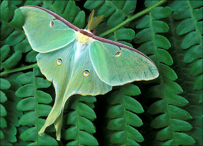 1 REAL LIVE LUNA MOTH COCOON SPRING READY FOR 2018 hatch