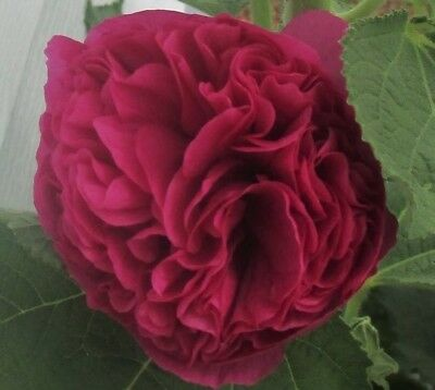 NEW Hollyhock (Alcea) 'Chater's Double Deep Pink' Seeds  - Perennial Comb/Ship.