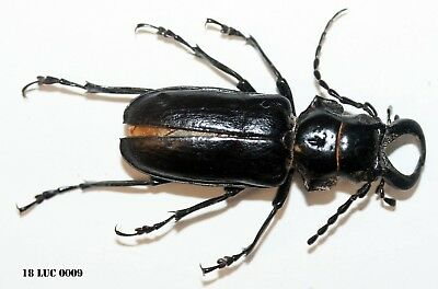 Insect Coleoptera Beetle Lucanidae Species-Rare! -The Congo! 18-LUC 0009