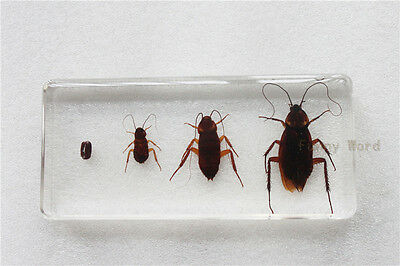 Real Insect Specimen Life Cycle of American Cockroach In Clear Lucite
