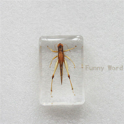 New Insect Specimen Rice Grasshopper/Locust (Oxya chinensis) in Clear Lucite