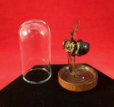 Entomology Taxidermy Carpenter Bee glass Dome Display Specimen collectible