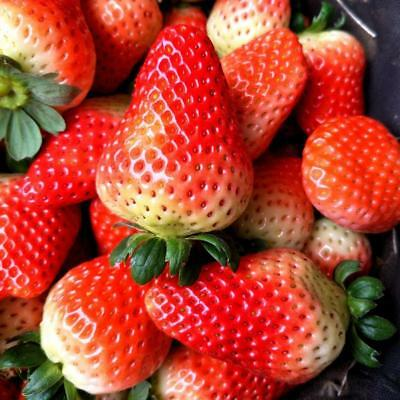 300X Giant Red Strawberry Seeds, Garden Fruit Plant, Rare And Delicious Hot^