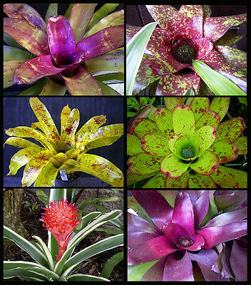SPECIAL OFFER - 20 BROMELIAD PACK - VARIETY of Colours and Types